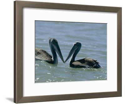 Brown Pelicans Touching Beaks