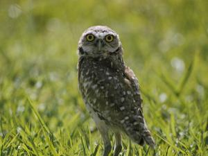 Burrowing Owl by Robert Madden