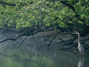 Great Blue Heron by Robert Madden