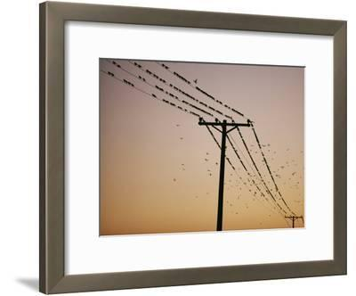Silhouetted against a Twilight Sky, a Flock of Birds Rests on Telephone Wires