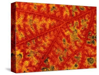Detail of Autumn Maple Leaf