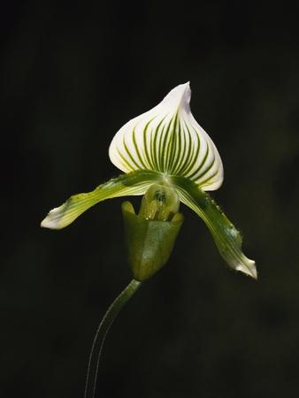 Hybrid Orchid