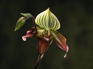 Hybrid Orchid by Robert Marien