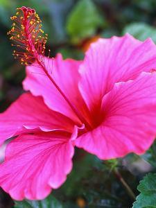 Pink Hibiscus by Robert Marien