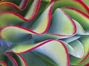 Red-Tipped Leaves of Kalanchoe by Robert Marien