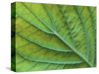 Veins of a Flowering Dogwood Leaf