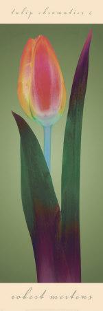 Tulip Chromatics II