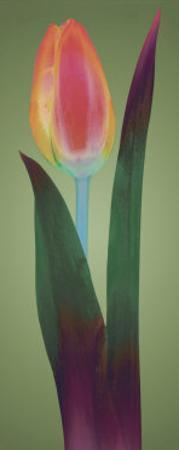 Tulip Chromatics II by Robert Mertens