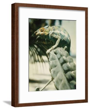 Chameleon on a Cactus