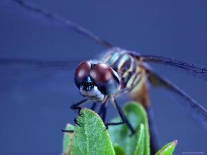 Close-up of a Male Blue Dasher Dragonfly by Robert Sisson