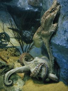 Octopuses Mate in a Tank Modeled after their Natural Habitat by Robert Sisson