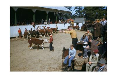 Spectators Watch as Auctioneer Points and Calls at Cattle Auction