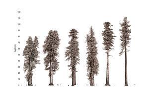 Illustration of Redwood Tree Growth Along the Pacific Coast by Robert Van Pelt
