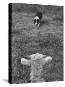 Border Collie, Roy, Winner of North American Sheep Dog Society Championship 3 Times in Succession by Robert W. Kelley