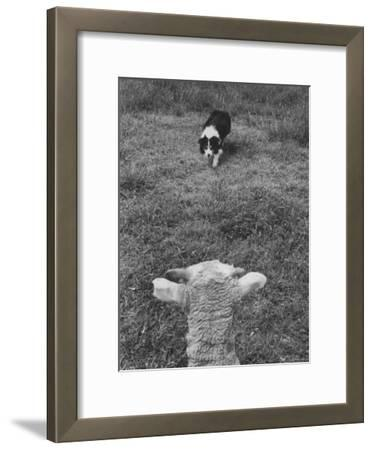 Border Collie, Roy, Winner of North American Sheep Dog Society Championship 3 Times in Succession