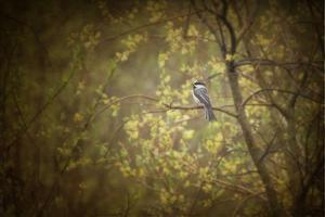 Chickadee in the Rain by Roberta Murray