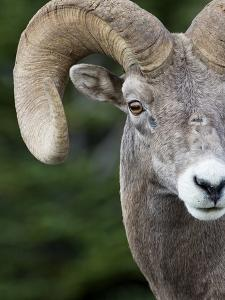 Bighorn Ram (Ovis Canadensis), Logan Pass, Glacier National Park, Montana by Roberta Olenick