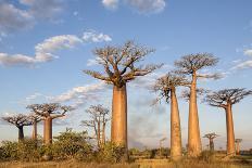 Madagascar, Morondava, Les Alla Des Baobabs at Sundown-Roberto Cattini-Photographic Print