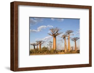 Madagascar, Morondava, Les Alla Des Baobabs at Sundown by Roberto Cattini