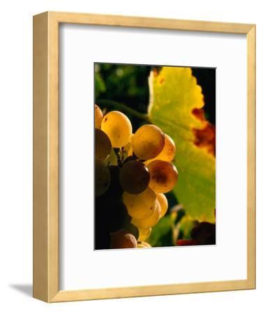 Chenin Blanc Grape Cluster, Napa Valley, California, USA