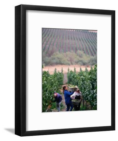 Harvest at Vineyard in Carneros Area, Napa Valley, California