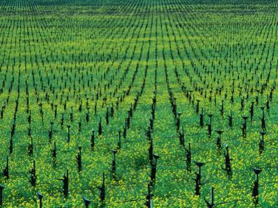 Vineyard with Mustard Flowers Near Yountville, Napa Valley, California, USA