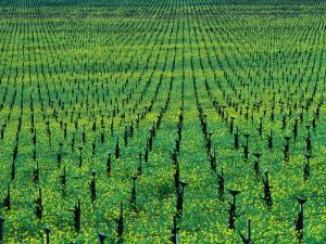 Vineyard with Mustard Flowers Near Yountville, Napa Valley, California, USA by Roberto Gerometta