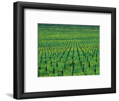 Vineyard with Mustard Flowers Near Yountville, Napa Valley, California, USA