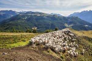 A Flock of Sheep in the Pastures of Mount Padrio, Orobie Alps, Valtellina, Lombardy, Italy, Europe by Roberto Moiola