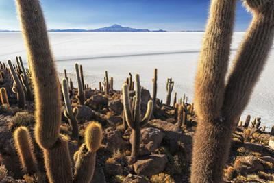 Cacti, Isla Incahuasi, a Unique Outcrop in the Middle of the Salar De Uyuni, Oruro, Bolivia