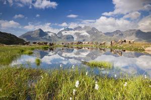 Cows grazing on green pastures surrounding the alpine lake, Val Bugliet, Canton of Graubunden, Enga by Roberto Moiola