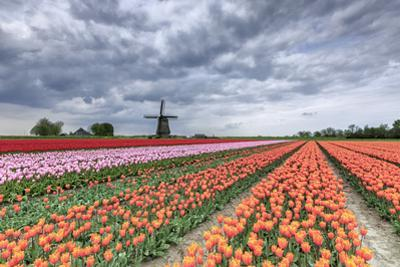 Dark Clouds over Fields of Multicolored Tulips and Windmill, Netherlands by Roberto Moiola