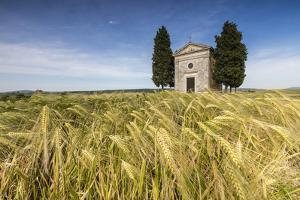 Fields of ears of corn on the gentle green hills of Val d'Orcia, UNESCO World Heritage Site, Provin by Roberto Moiola
