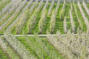 Flowering Apple Orchards, Villa of Tirano, Province of Sondrio, Valtellina, Lombardy, Italy, Europe by Roberto Moiola