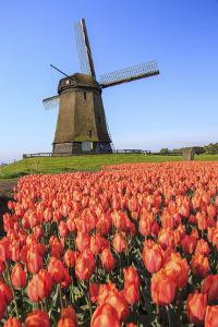 Red and Orange Tulip Fields and the Blue Sky Frame the Windmill in Spring, Netherlands by Roberto Moiola