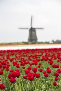 Red Tulip Fields Frame the Windmill in Spring, Berkmeer, Koggenland, North Holland, Netherlands by Roberto Moiola