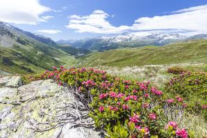 Rhododendrons frame the green alpine landscape, Montespluga, Chiavenna Valley, Valtellina, Italy by Roberto Moiola