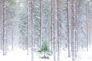 Tall trees in the snowy woods shrouded in the morning mist, Alaniemi, Rovaniemi, Lapland region, Fi by Roberto Moiola