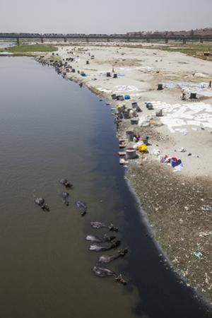 Water Buffalo Drinking from the Yamuna River