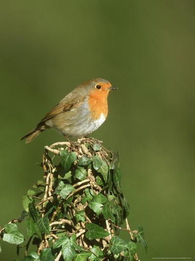 Robin, Adult Perched on Ivy Covered Stump, UK-Mark Hamblin-Photographic Print