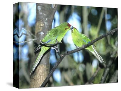 Red-Crowned Parakeet, Pair, N.Zealand