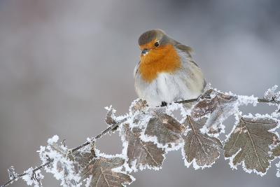Robin (Erithacus Rubecula) Adult Perched in Winter with Feather Fluffed Up, Scotland, UK, December-Mark Hamblin-Photographic Print