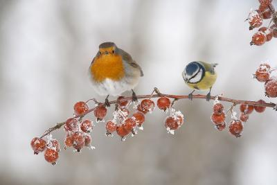Robin (Erithacus Rubecula) and Blue Tit (Parus Caeruleus) in Winter, Perched on Twig, Scotland, UK-Mark Hamblin-Photographic Print