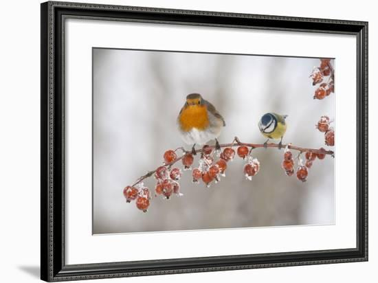 Robin (Erithacus Rubecula) and Blue Tit (Parus Caeruleus) in Winter, Perched on Twig, Scotland, UK-Mark Hamblin-Framed Photographic Print
