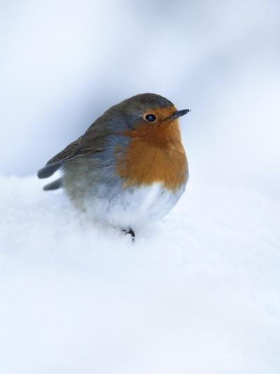 Robin (Erithacus Rubecula), in Snow, United Kingdom, Europe-Ann & Steve Toon-Photographic Print