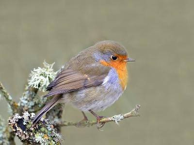 Robin (Erithacus Rubecula), Lake District, Cumbria, England, United Kingdom, Europe-David and Louis Gibbon-Photographic Print
