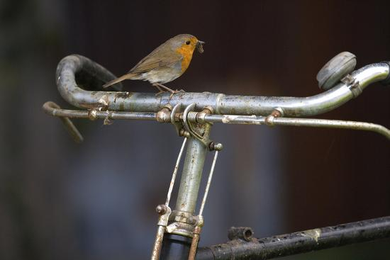 Robin Erithacus Rubecula on Bicycle-Ernie Janes-Photographic Print