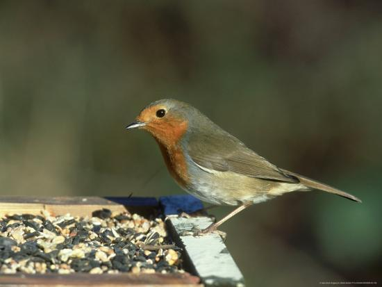 Robin, Feeding on Table, UK-Mark Hamblin-Photographic Print