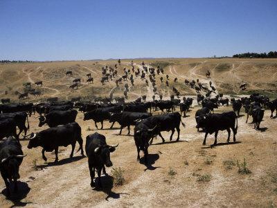 Cattle Transhumance, Spain