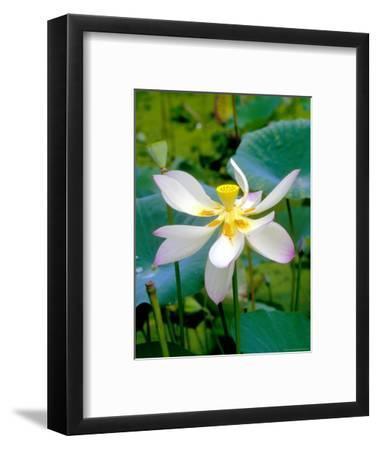 Lily Blossom, Barbados, Caribbean